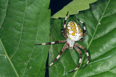 Garden spider. The close-up of a big garden spider on leaf Royalty Free Stock Photos