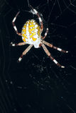 Garden spider. The close-up of a big garden spider at night Royalty Free Stock Image