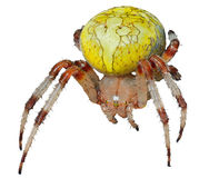 Garden-spider 4 Stock Photography