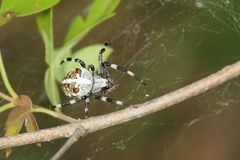 Garden spider Stock Photography