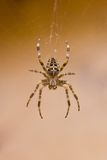 Garden spider in cobweb in fall Royalty Free Stock Photography