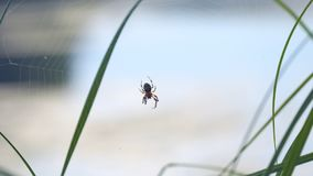 Garden spider with cross on back. On web stock video
