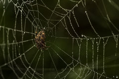 Garden Spider on a Dew Covered Web Royalty Free Stock Photo