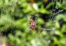 Garden Spider On Dewy Web Royalty Free Stock Photography