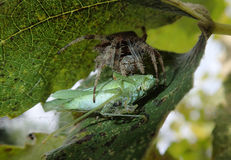 Garden spider eating a grasshopper Royalty Free Stock Photo