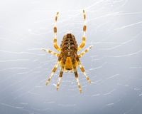 Garden Spider. A female Orbweaver on bright background. Backlight brings out the color in her legs stock photos
