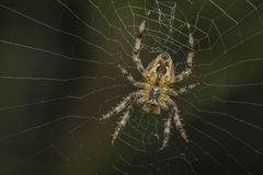 Garden spider Royalty Free Stock Photography