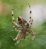 Garden Spider with a Fly. A UK common garden spider with a caught fly Royalty Free Stock Images