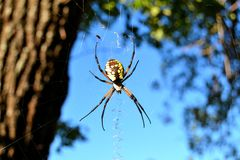 Garden spider. On her web Stock Images