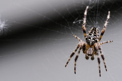 Garden Spider. Spider on her web waiting for a fly stock image
