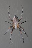 Garden spider in her web royalty free stock photos