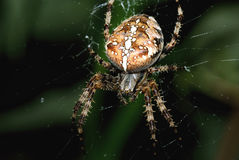 Garden Spider Hunting Royalty Free Stock Photos