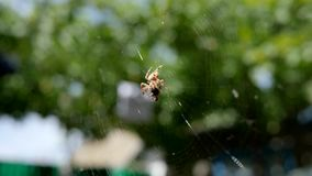Garden spider hunting its prey in open air, spider on web eating its prey into sunshine, arachnid catches insects in stock footage