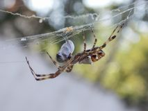 Garden spider and its prey. Some insect wrapped in web by a brazilian garden spider royalty free stock image