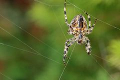 Garden Spider on its web Stock Image