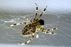 Garden spider in its web. Stock Photography
