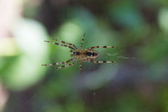 Garden spider on its web Stock Images