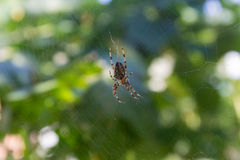Garden spider on its web. A garden spider on its web, lurking royalty free stock images