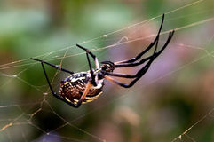 Garden spider. A large garden spider upside down on a web Royalty Free Stock Photo