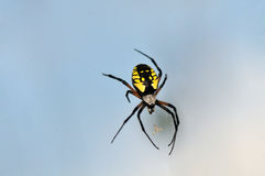 Garden spider macro Stock Photography