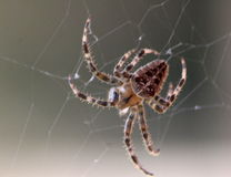 Garden spider makes a web Stock Photo