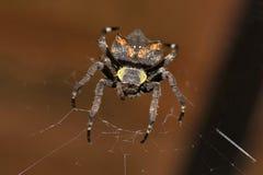Garden spider, Parawixia dehaani, Araneidae, Agumbe ARRSC, Karnataka. Garden spider, Parawixia dehaani, Araneidae, Agumbe ARRSC Karnataka  India Stock Photos