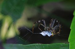 Garden spider and the prey Stock Photography