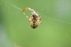 Garden spider with prey. Royalty Free Stock Photos