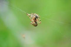 Garden spider with prey. Stock Photos