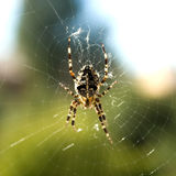 Garden spider on spiderweb Royalty Free Stock Images
