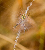Garden spider spinning a web Stock Images