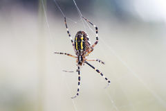 garden-spider spun their sticky webs among grasses Stock Photo