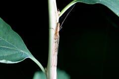 Garden spider tetragnatha nigrita Royalty Free Stock Images