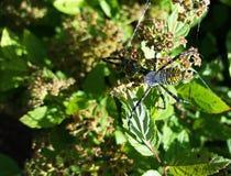 Garden Spider Top 2. Garden Spider 2 sunning himself, Rock County Wisconsin Royalty Free Stock Images