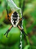 Garden spider on web stock photo