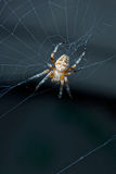 Garden spider in web Stock Images