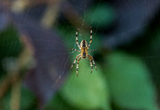 Garden Spider in a Web with Focus on the Body and Head and Blurry Legs and Background Royalty Free Stock Images