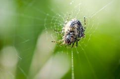 Garden Spider Web Macro Stock Images