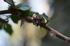 Garden Spider on Web Stock Photography