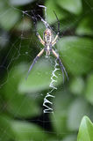 Garden Spider on Web, Underside Royalty Free Stock Image