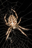 Garden spider and web Stock Photos