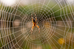 Garden spider on web Stock Image
