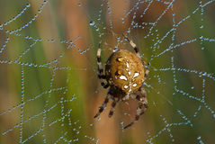 Garden Spider on wet web Royalty Free Stock Photo