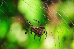 Garden Spider Royalty Free Stock Photo