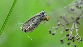 Garden spider wraps captured  butterfly stock video