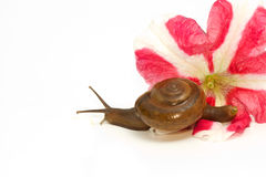 Garden spiral snail on flower Royalty Free Stock Images