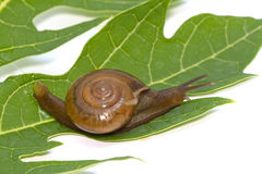 Garden spiral snail on green leaf Royalty Free Stock Images