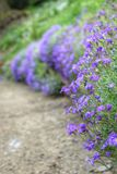 In the garden. A splash of purple in an english country garden Stock Photography