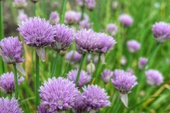 In the garden. A splash of purple in an english country garden Royalty Free Stock Images