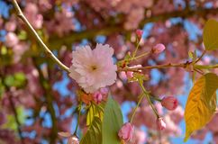 Garden with spring bloom trees.Japanese cherry blossom in spring royalty free stock photos